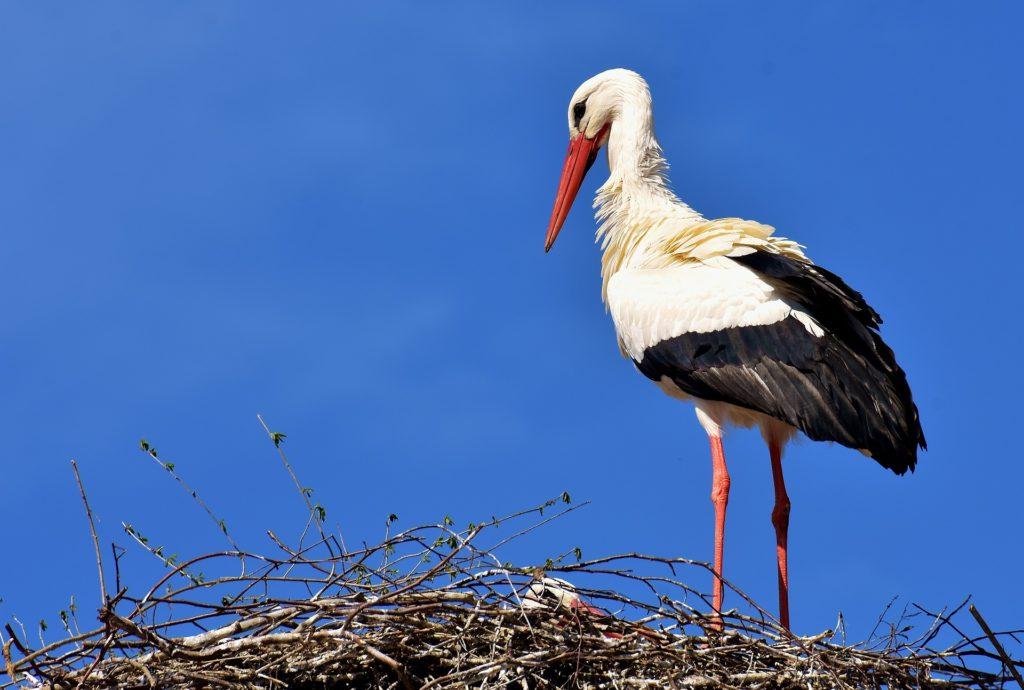 Stork i bo